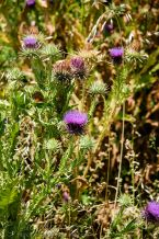 Picture of Thistles